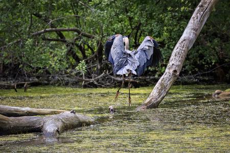 Wild Blue Heron hunting near the pond.