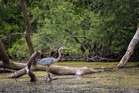 Wild Blue Heron Jagd in der Nähe des Teiches. Standard-Bild