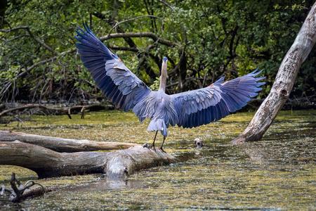 wetland: Wild Blue Heron hunting near the pond.