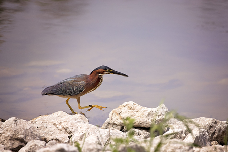 Green Heron standing in the water and hunting.