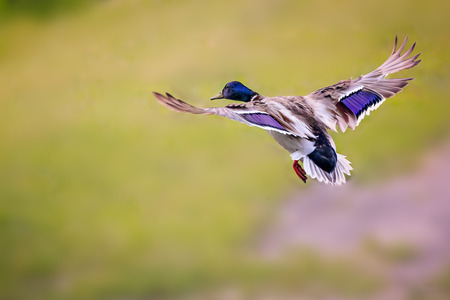 Colorful duck, drake try to reach the lake. Stok Fotoğraf