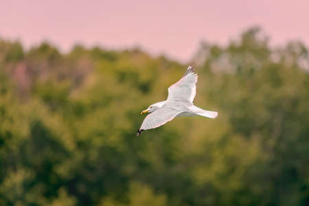 bend over: White gull flying over the Bend Lake Stock Photo