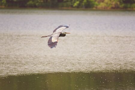 wing span: Wild Blue Heron flying over the lake. Stock Photo