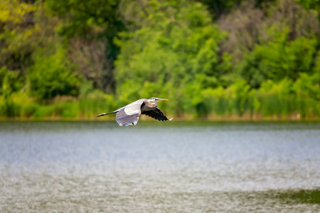 blue heron: Wild Blue Heron flying over the lake. Stock Photo