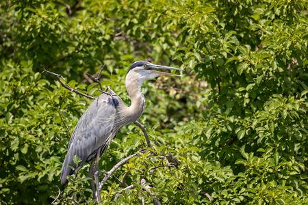 blue heron: Wild Blue Heron hunting near the pond.