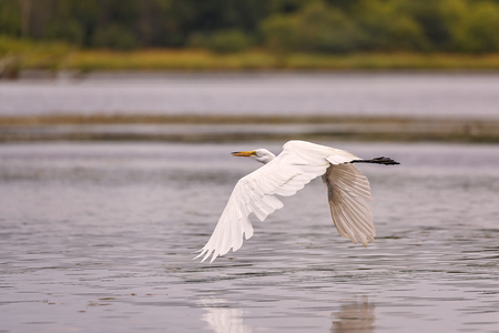 White, Great Egret in flight over the lake. Stock Photo