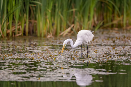 White Egret wading in the lake and hunting.