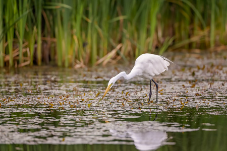 wingspan: White Egret wading in the lake and hunting.