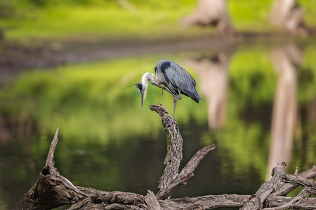 spread legs: Wild Blue Heron posing near Des Plaines River. Stock Photo