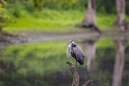 Wild Blue Heron posiert in der Nähe Des Plaines Flusses. Standard-Bild