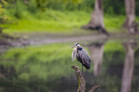 victoria bc: Wild Blue Heron posing near Des Plaines River. Stock Photo