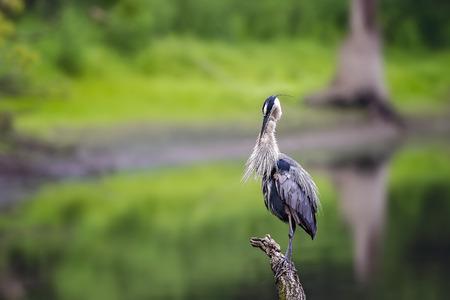 gray herons: Wild Blue Heron posing near Des Plaines River. Stock Photo