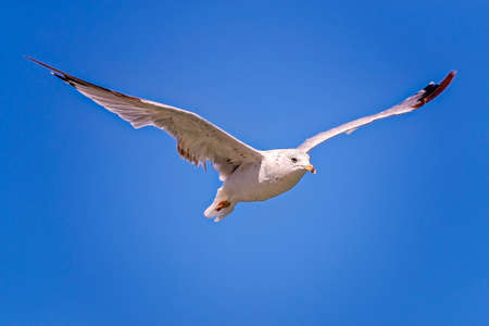 white headed: White gull flying over the Lake Michigan