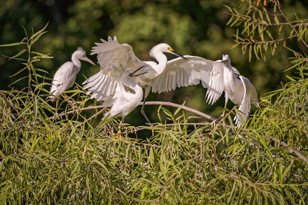wingspan: White, Great Heron hunting and feeding chicks and youngs in Hilton Head Island