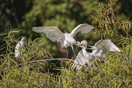 White, Great Heron hunting and feeding chicks and youngs in Hilton Head Island