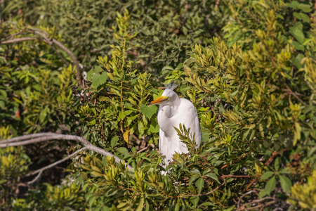 youngs: White, Great Heron hunting and feeding chicks and youngs in Hilton Head Island
