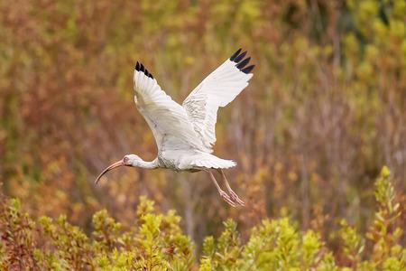 carolina: White Ibis taking care of chicks in the nest in Hilton Head Island, South Carolina