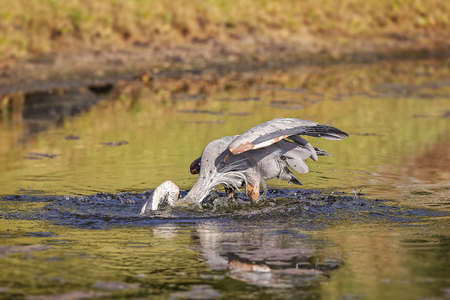 Blue Heron hunting in a pond in Hilton Head Island, SC Stock Photo