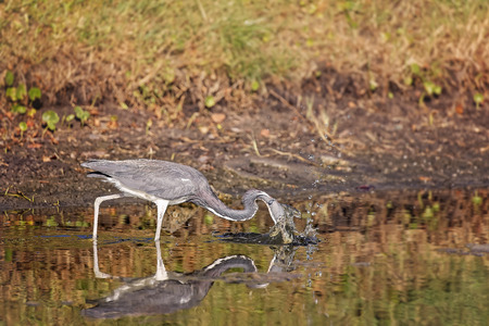 legs spread: Blue Heron hunting in a pond in Hilton Head Island, SC Stock Photo