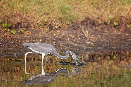 beine spreizen: Blue Heron Jagd in einem Teich in Hilton Head Island, South Carolina