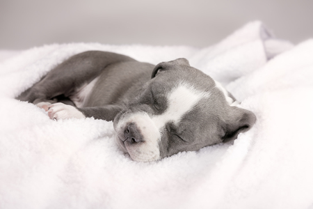 black and white pit bull: Puppy of American Pitbull posing to first photo session.