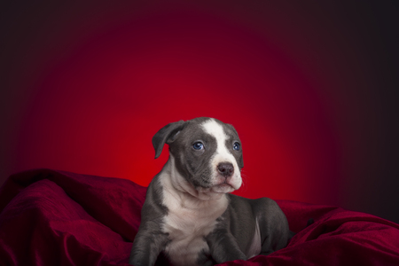 Puppy of American Pitbull posing to first photo session.
