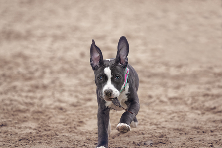 Four months American Pitbull playing on the beach. Stock Photo