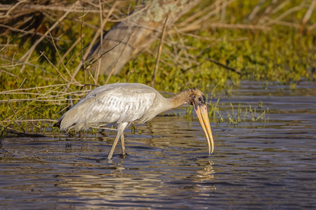 Wood Stork hunting on salt marshes in Big Talbot Island. Stock Photo