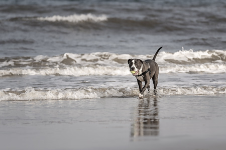 Young American Pitbull Terrier playing on the beach at Amelia Island, Florida Stock Photo