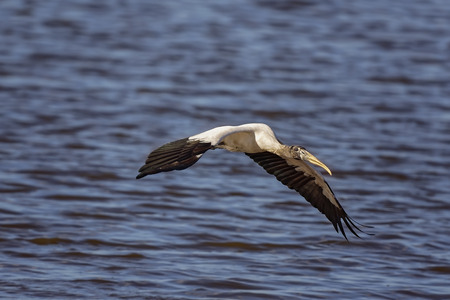 Wood Stork hunting on salt marshes in Big Talbot Island. Imagens