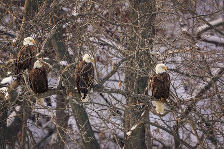 Bald Eagles wintering in Starved Rock State Park in Illinois. Imagens - 93792045