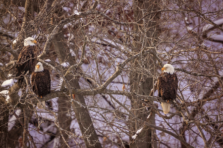 Bald Eagles wintering in Starved Rock State Park in Illinois. Imagens