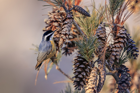 American songbird, Black Capped Chickadee looking for grains in cones. Imagens