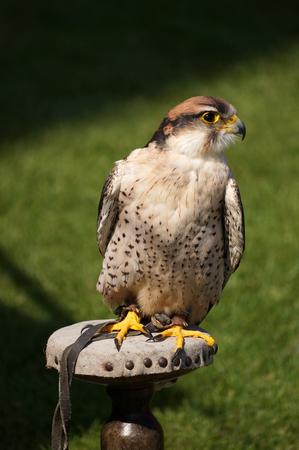 A kestrel, sits on a perch