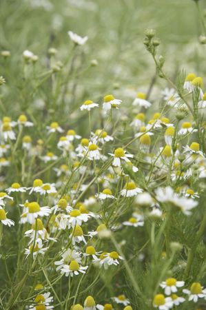 wild daisies on a meadow in portrait format Stock Photo - 724437
