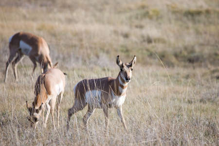 Pronghorn native to interior western North America photo
