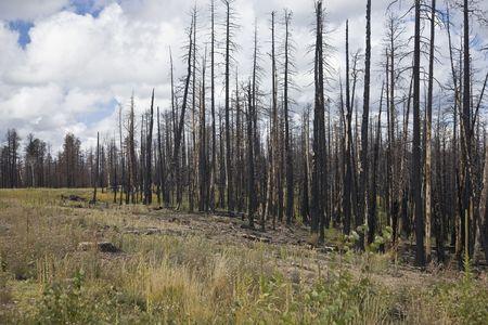spunk: After Forest Fire - Kaibab National Forest Arizona USA