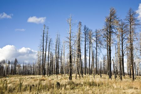 boles: After Forest Fire - Kaibab National Forest Arizona USA