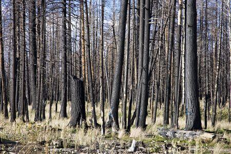 spunk: Despu�s Del Fuego Del Bosque - Arizona Nacional los E.E.U.U. Del Bosque De Kaibab