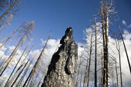 spunk: Despu�s de los incendios forestales - Bosque Nacional Kaibab Arizona EE.UU.
