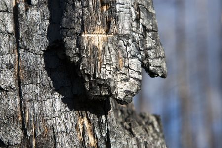 spunk: Despu�s de los incendios forestales - Bosque Nacional Kaibab Arizona, EE.UU.