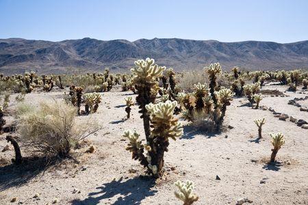 cholla cactus: Cholla cactus garden, Joshua Tree National Park in California, USA