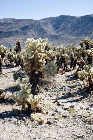 cholla: Cholla cactus garden, Joshua Tree National Park in California, USA