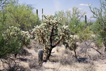 cholla: Jumping cholla Saguaro NP Arizona USA