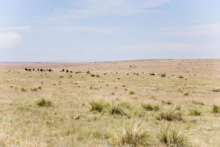 pastureland: Herd of cattle on meadow in Arizona, USA