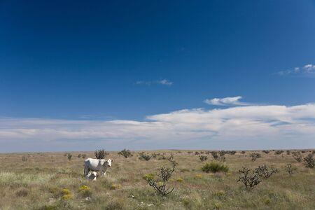 pastureland: White cows on prairie in Arizona, USA Stock Photo