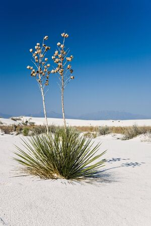 Soaptree yucca - White Sands National Monument in New Mexico, USA Stock Photo - 3832558