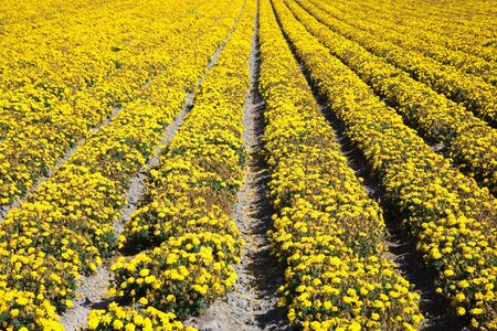 floridity: Sea of flowers, near Lompoc in California, USA