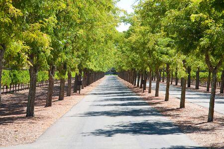 nappa: Tree-lined road, Nappa Valley, Nappa in California, USA