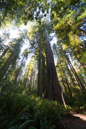 bole: Crown of trees, Redwood National and State Park in California, USA